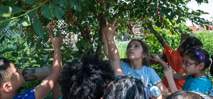 Students picking cherries off of a cherry tree.